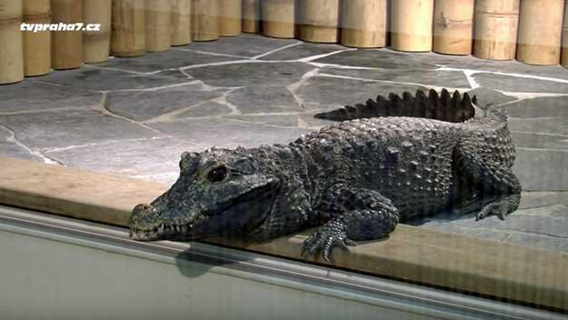 Krokodýlí Zoo v Praze by jen málokdo čekal